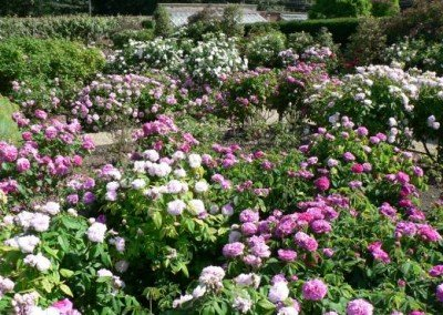 The Rose Garden  - Loseley House