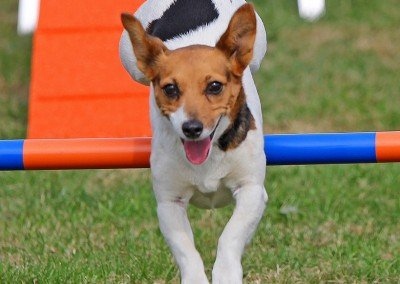 Dogfest 2014 Agility | Jack Russell